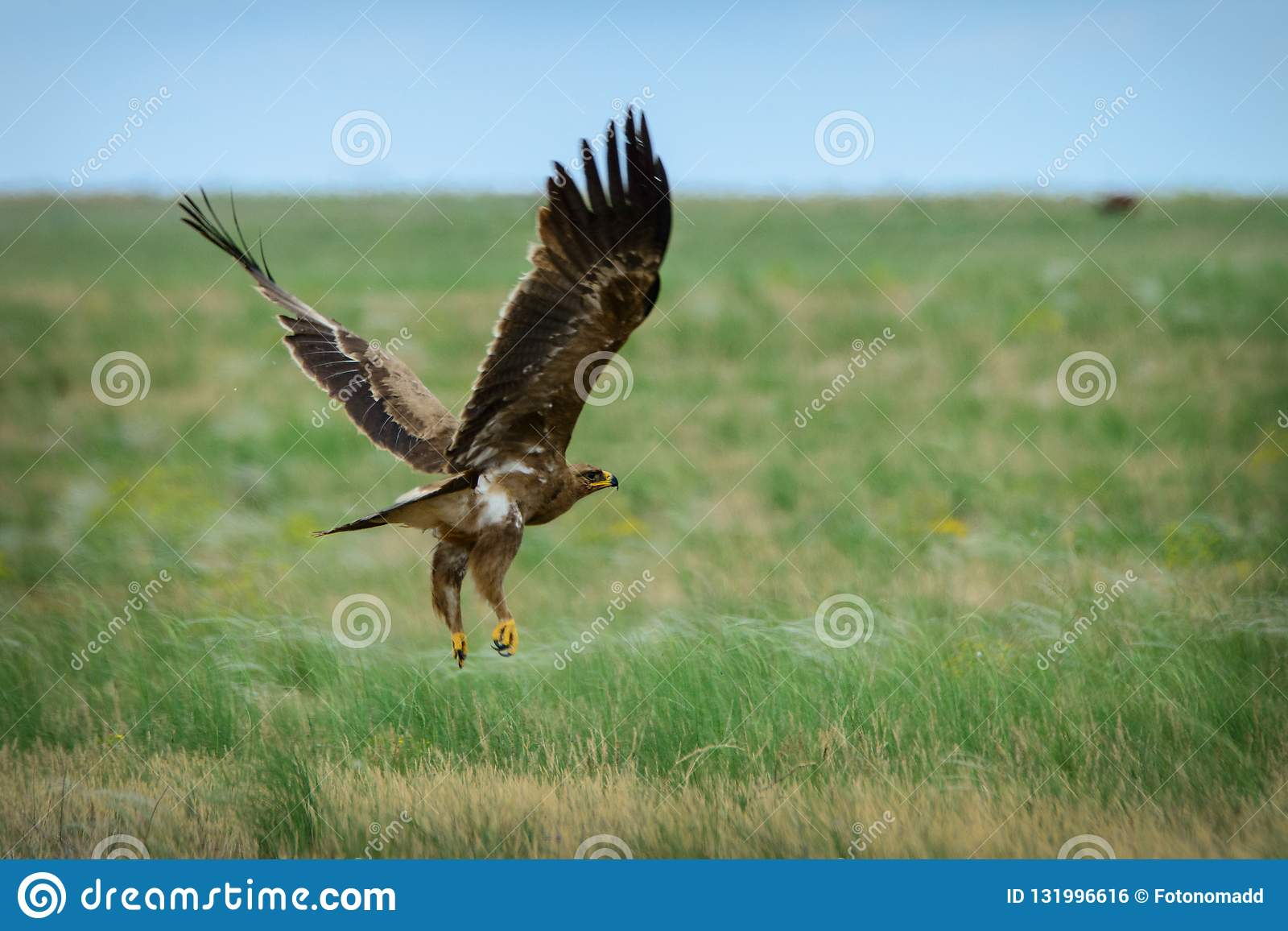 Летание орла степи
