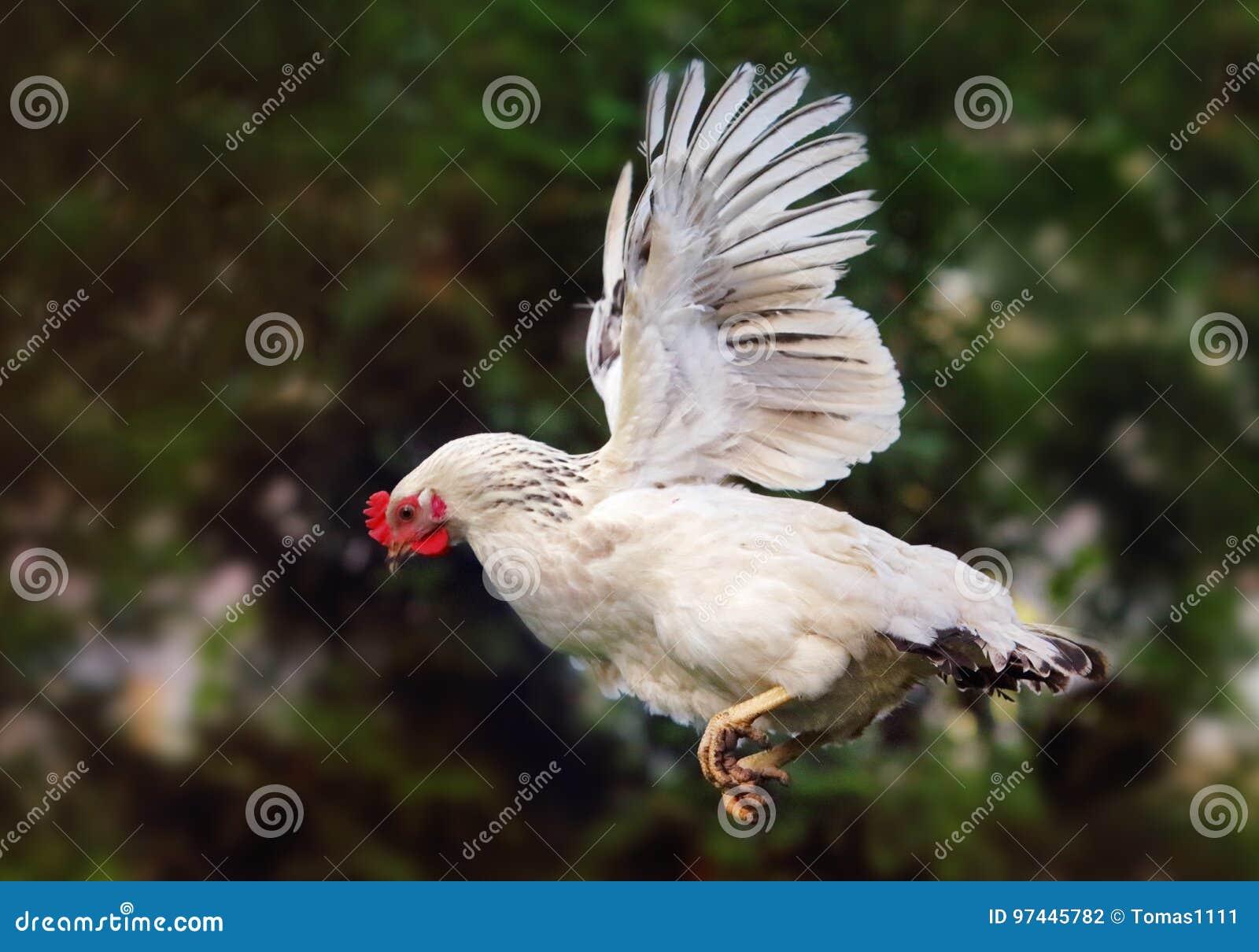 Летание цыпленка в природе, курице