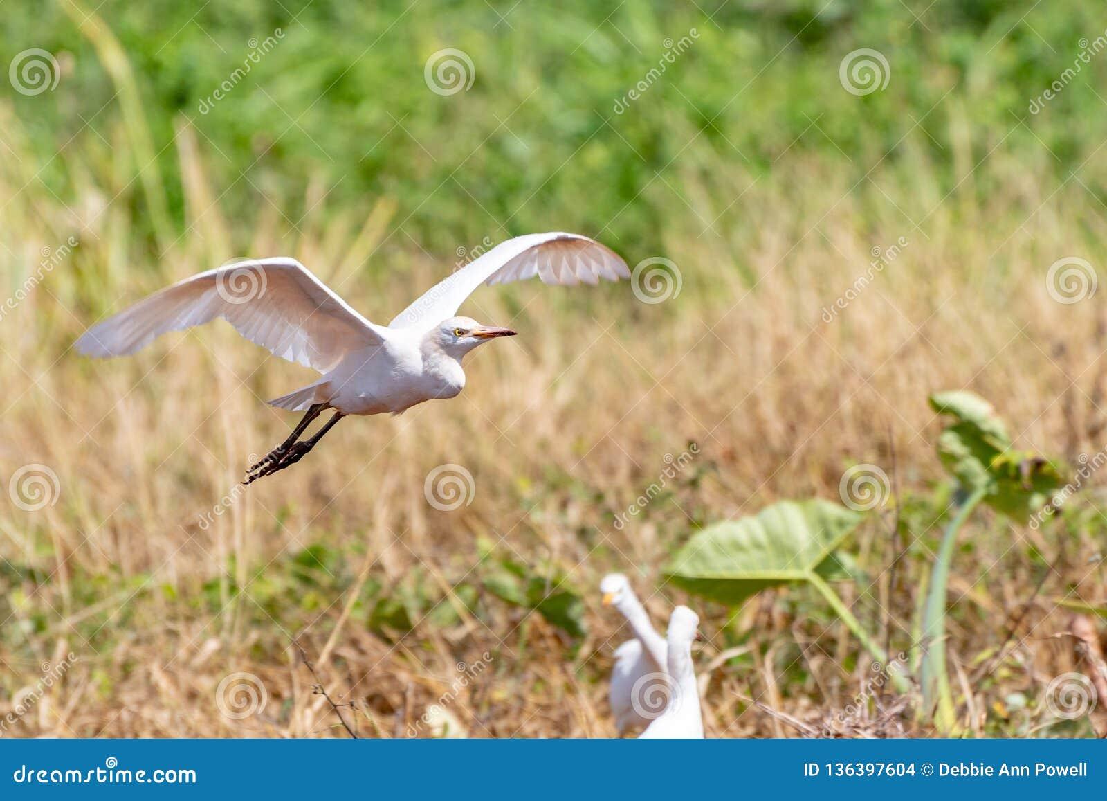 Летание Egret скотин над сельскохозяйственными угодьями