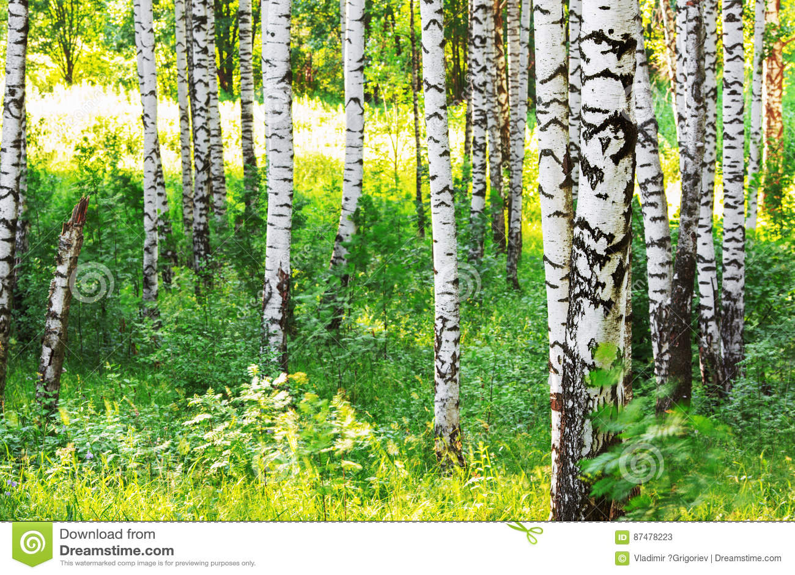 Лето в солнечном лесе березы