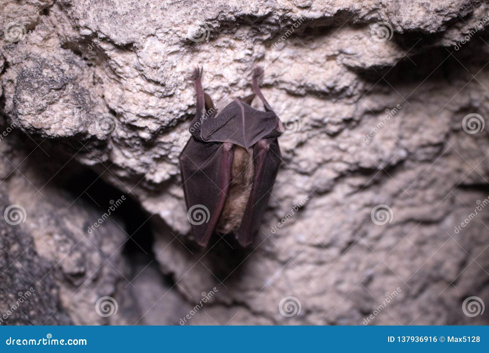 Летучие мыши спят в подземелье Подков-обнюханная летучая мышь