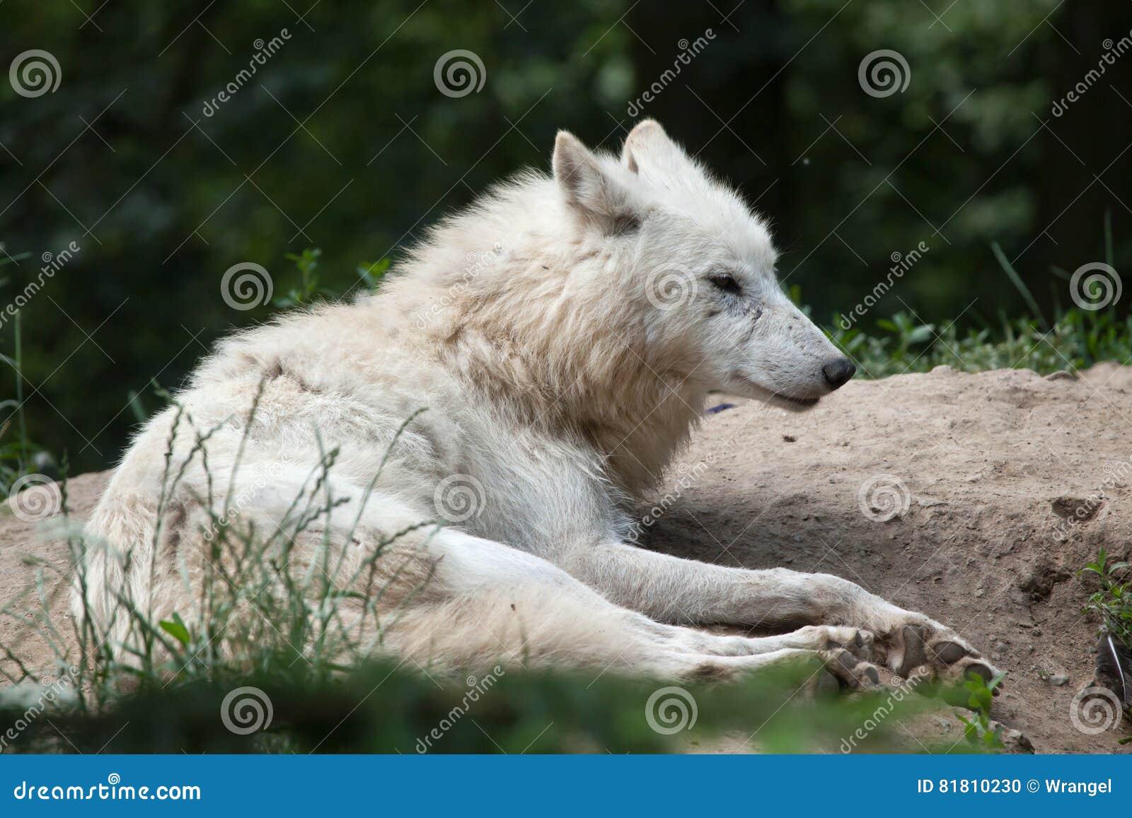 Ледовитые arctos волчанки волка волка