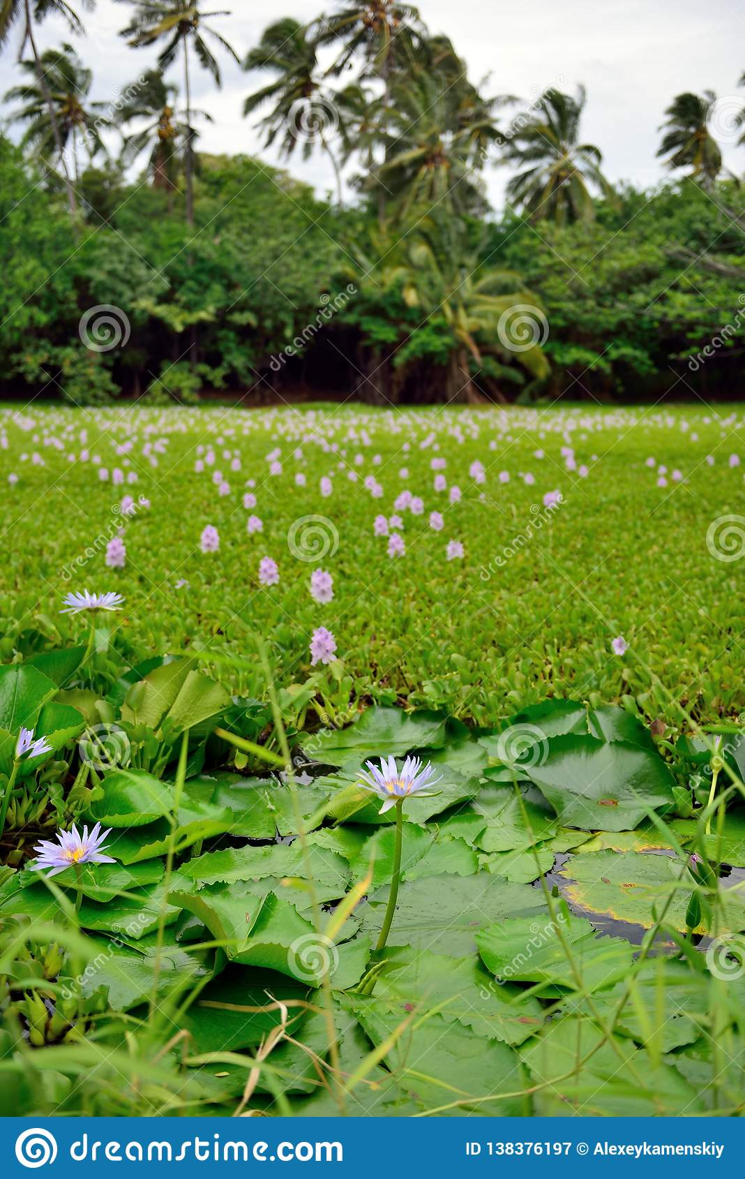 Лилии на тропическом озере в острове Гаваи большом