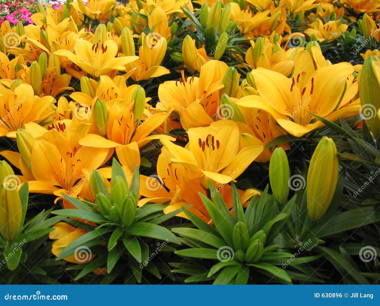 Download лилии стоковое фото. изображение насчитывающей символ, bulkiness - 630896