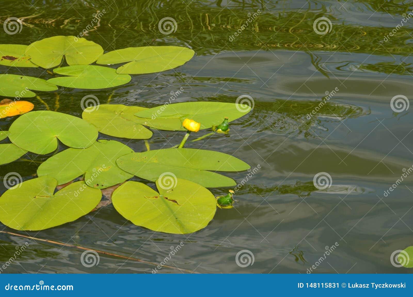 Лилия воды с желтыми цветками на озере в Польше - каникулы и летнее время