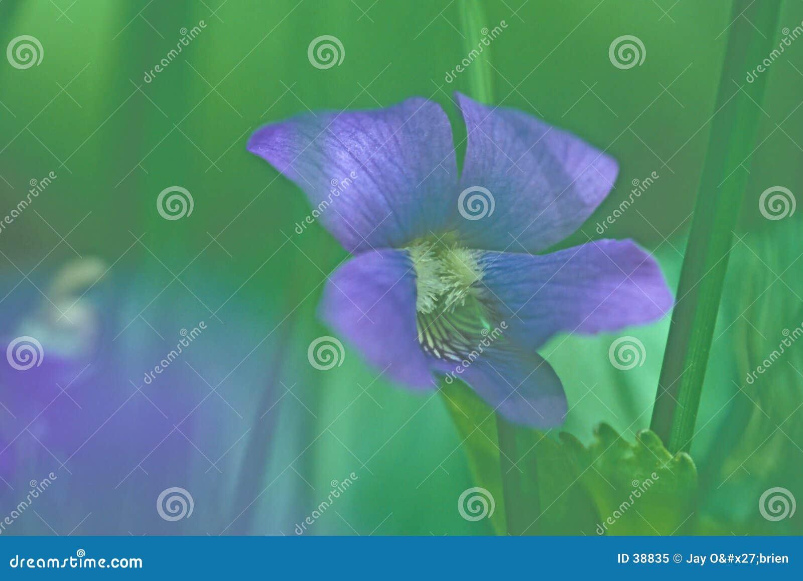 лиловое одичалое