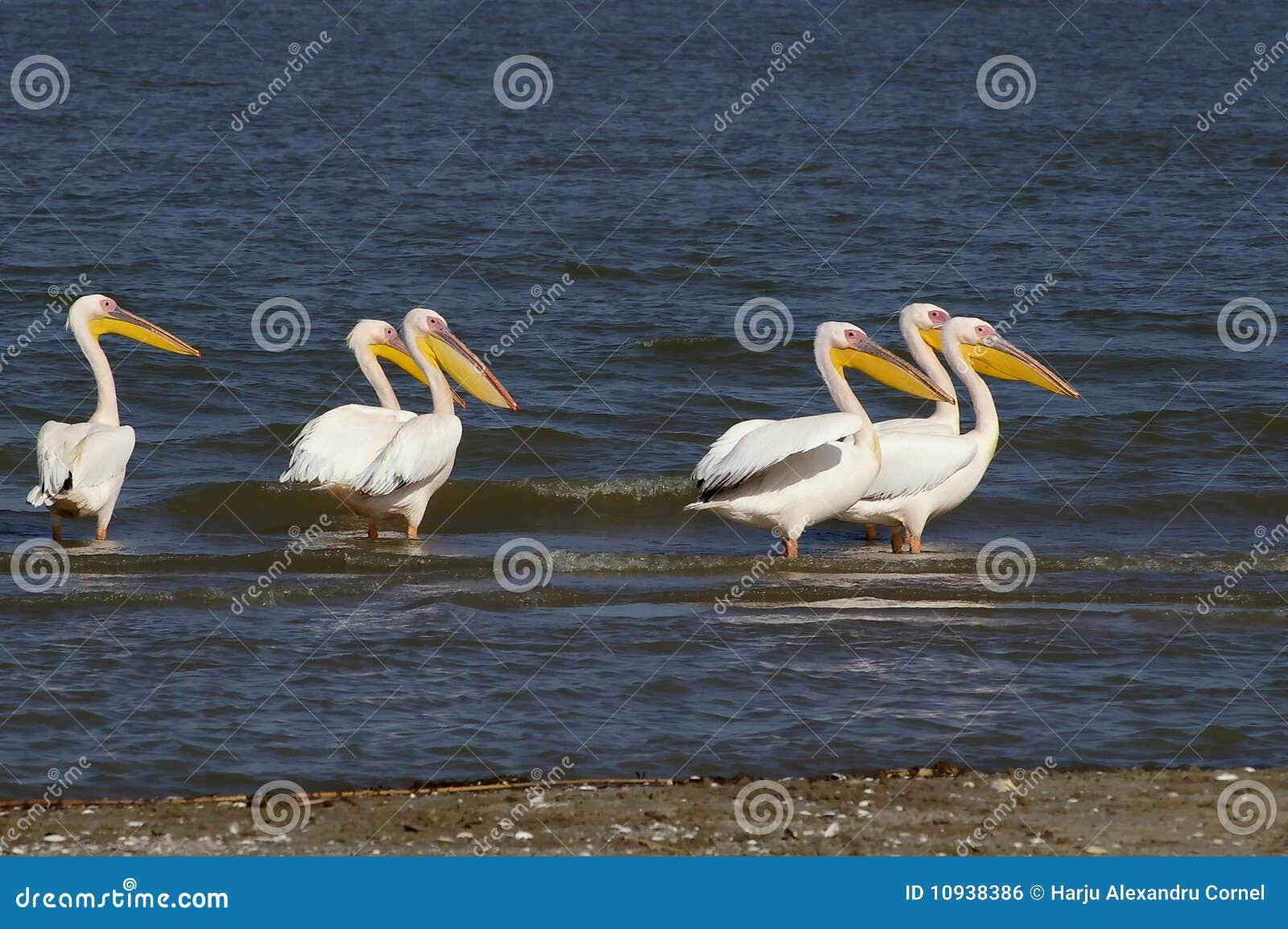 линия пеликаны
