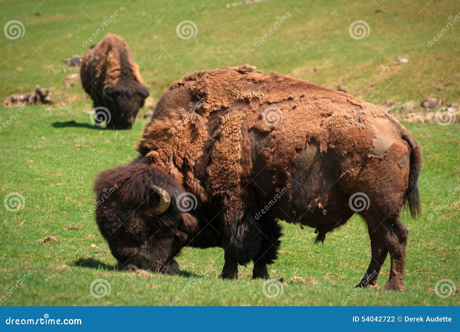 Линька бизона (американского буйвола) весной пася в поле