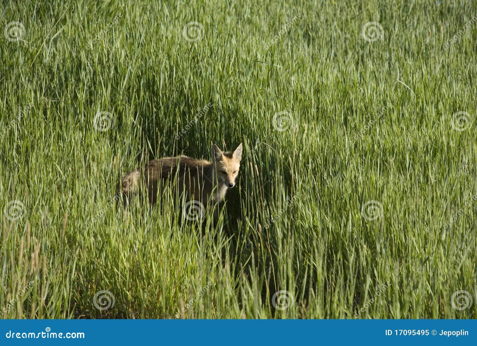 лисица поля