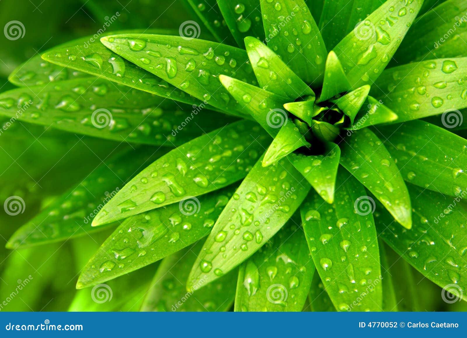 листво влажное