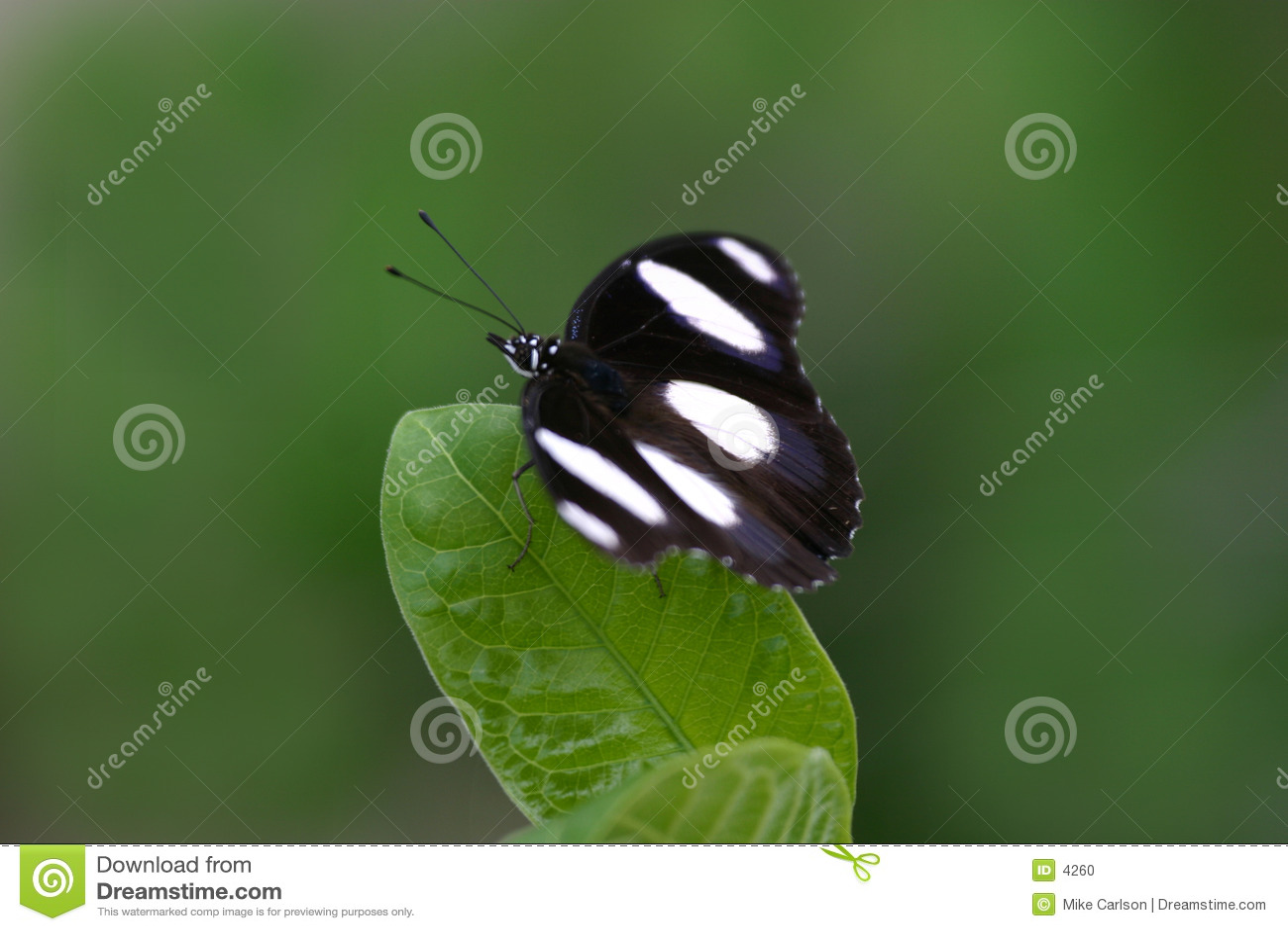 листья бабочки