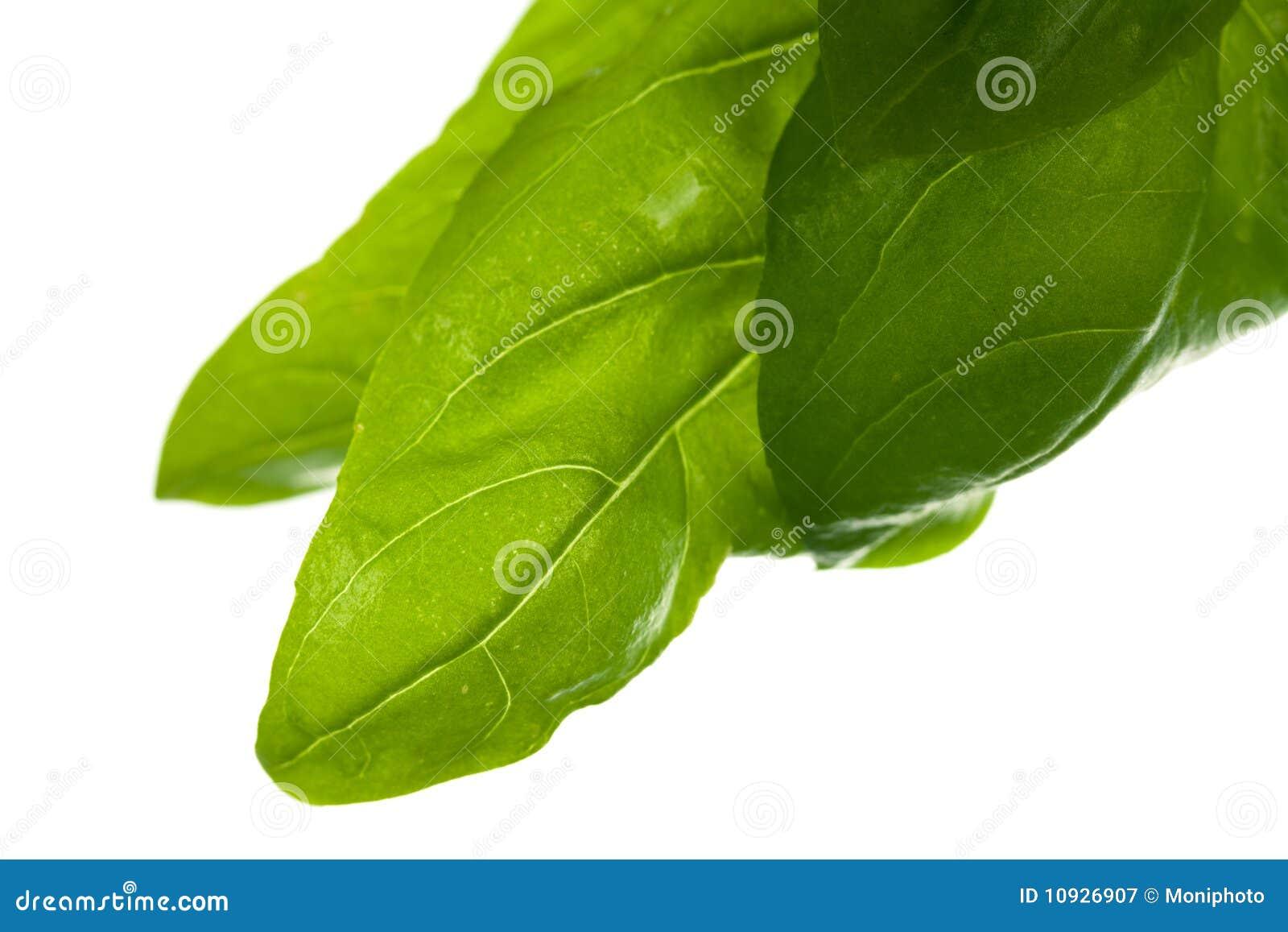 листья базилика