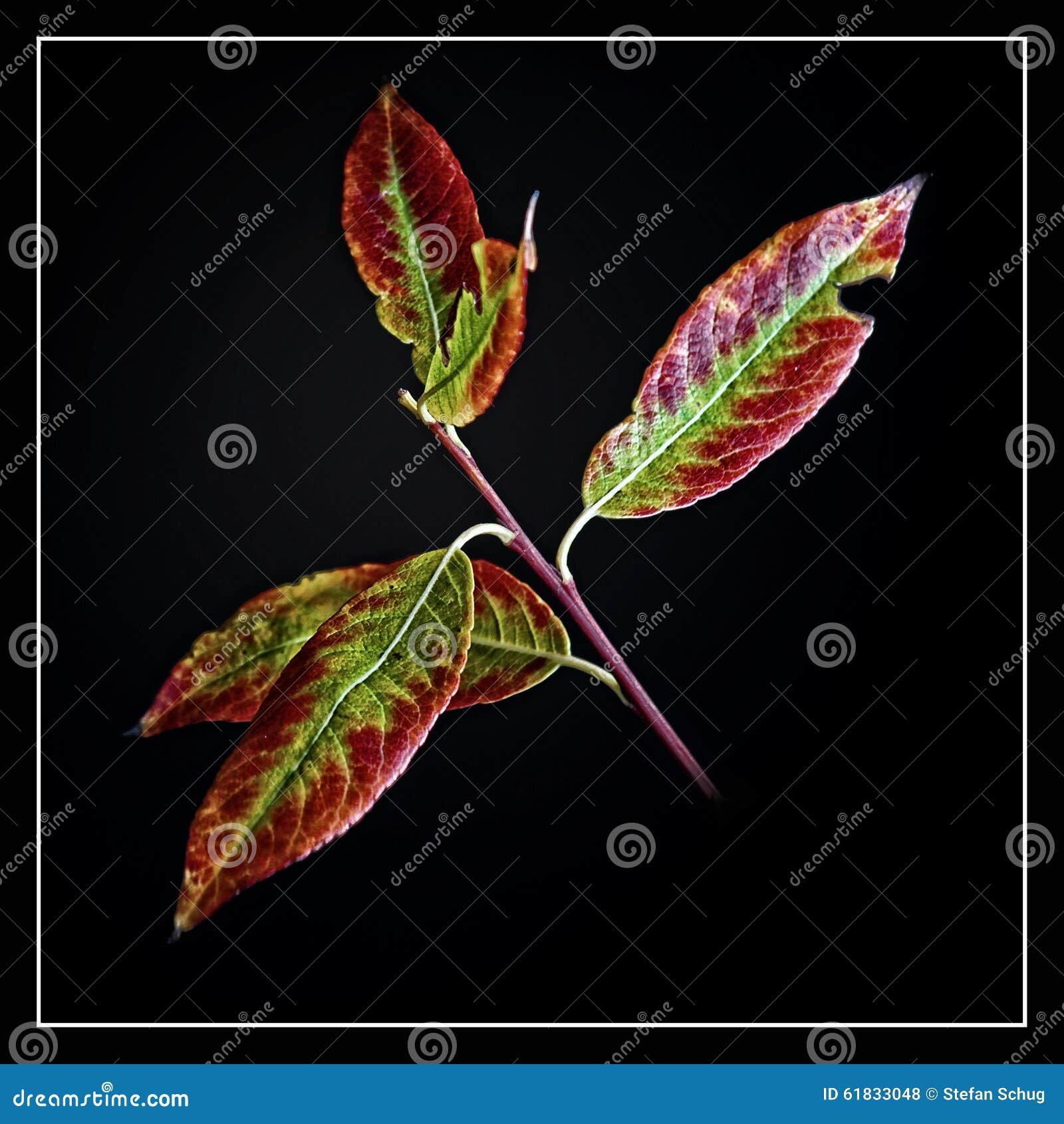 Листья вербы