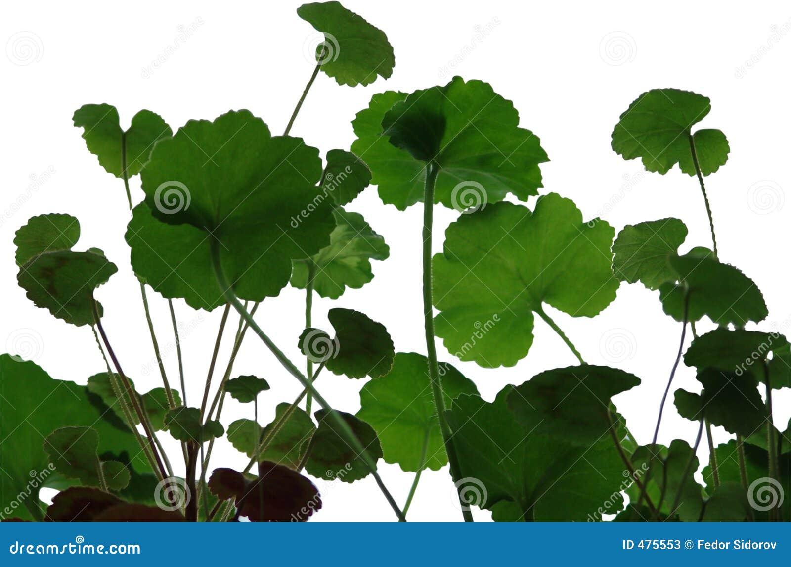 листья гераниума