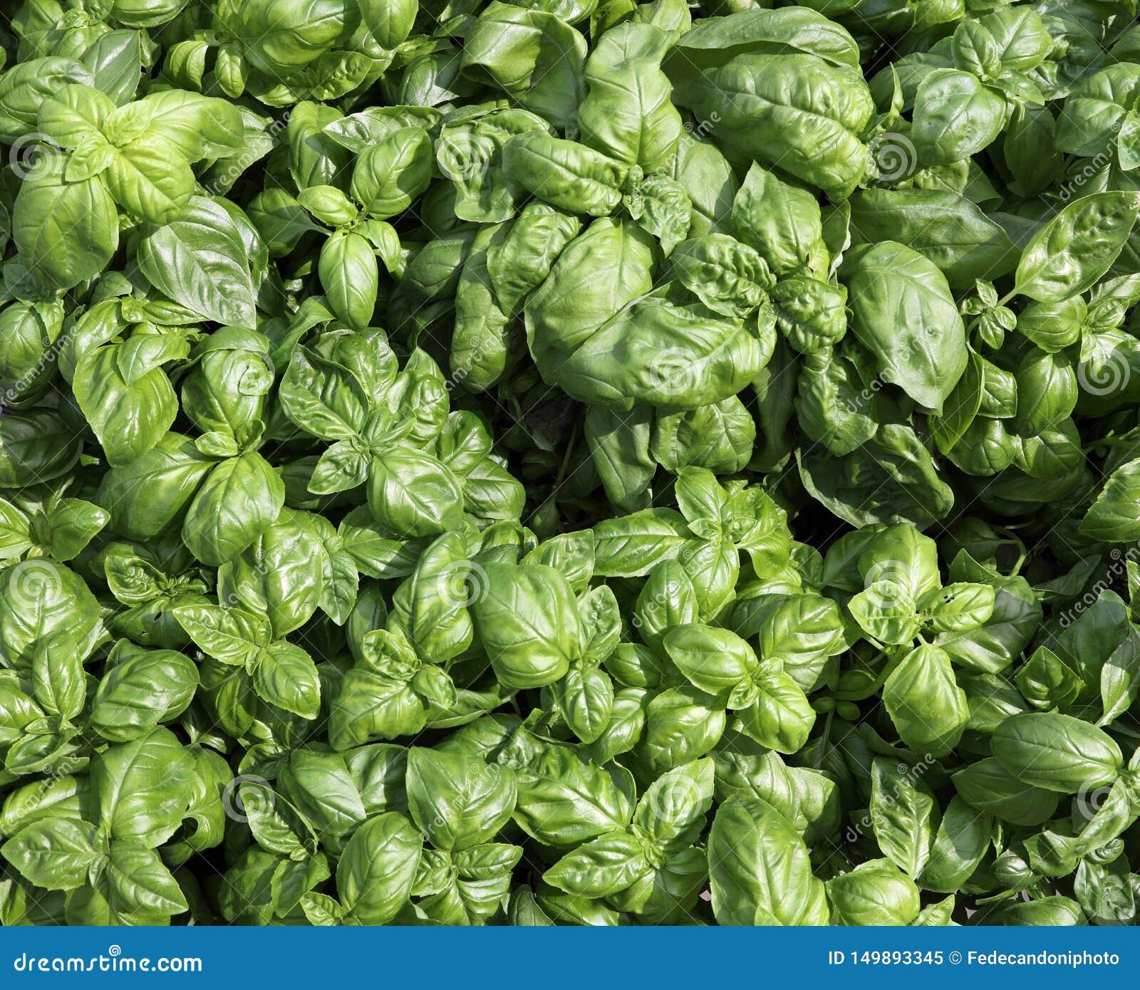 листья заводов базилика для продажи