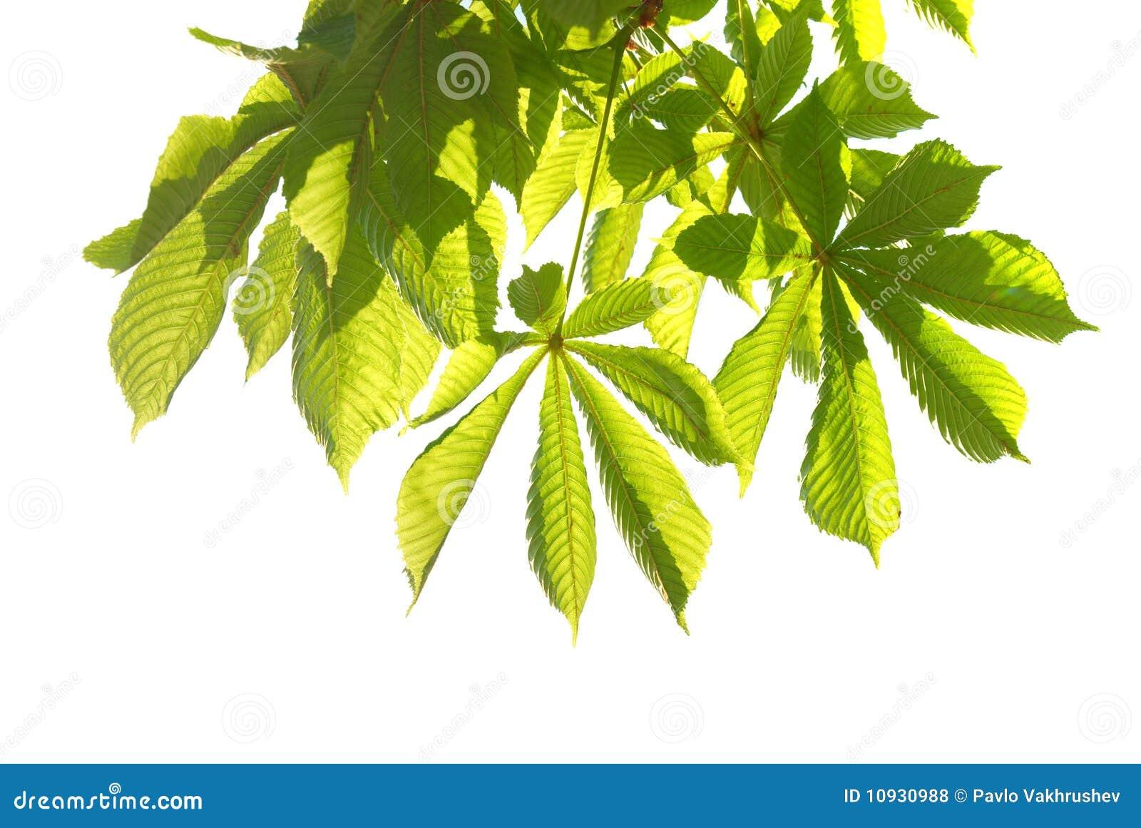 листья зеленого цвета каштана