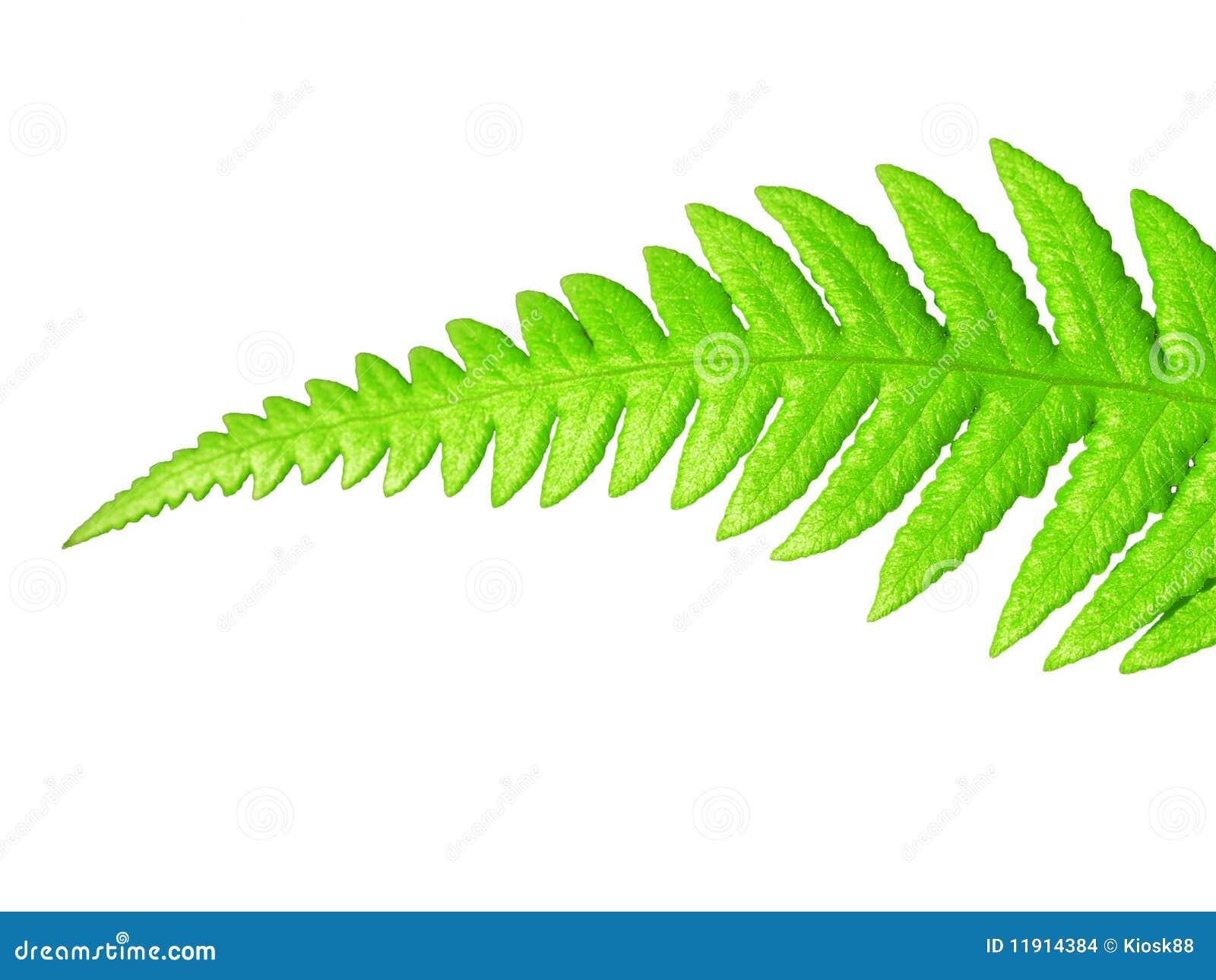 листья изолированные зеленым цветом