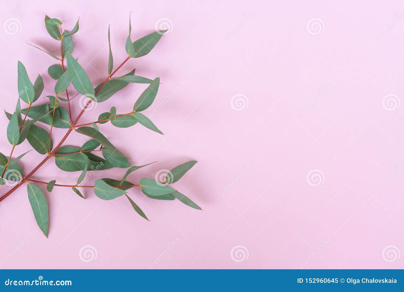 Листья и ветви зеленого эвкалипта серебряного доллара cinerea на пастельной розовой предпосылке Флористический состав