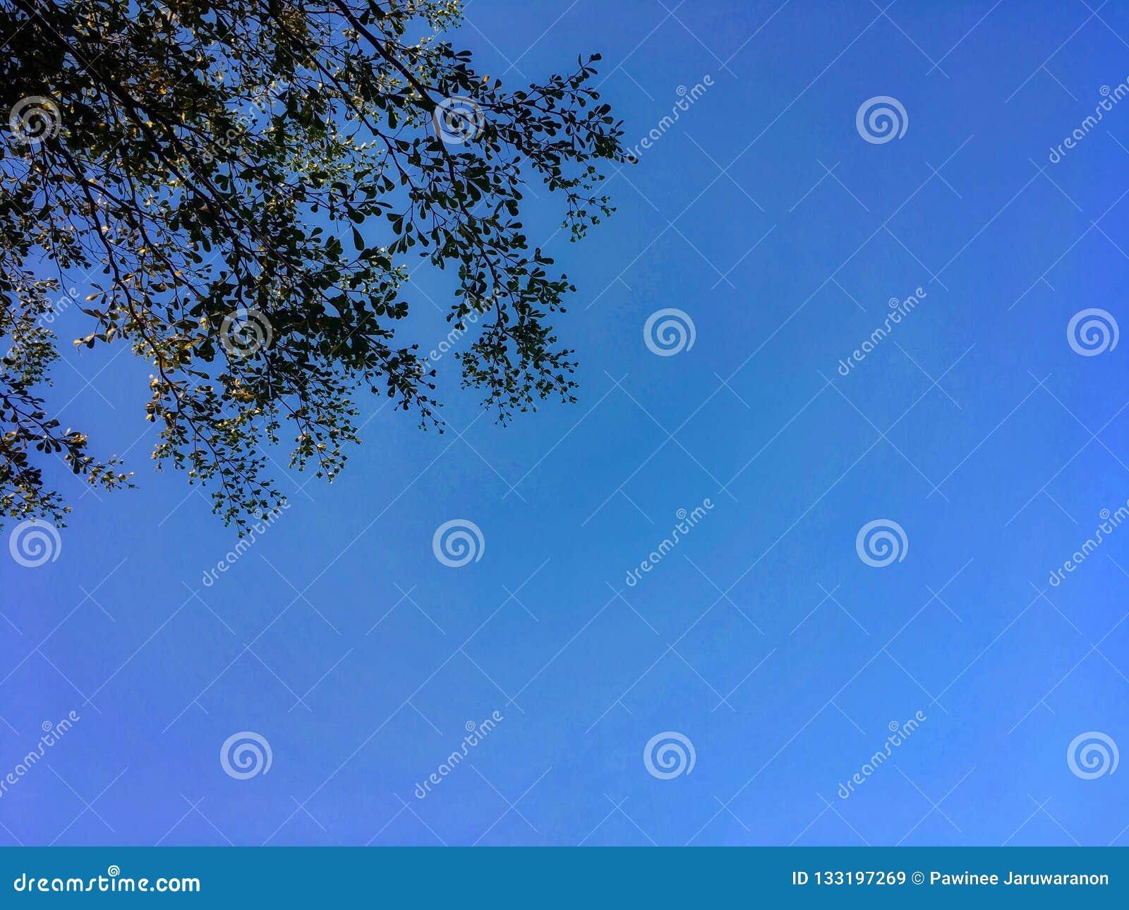 Листья и лимб ivorensis Terminalia с предпосылкой голубого неба