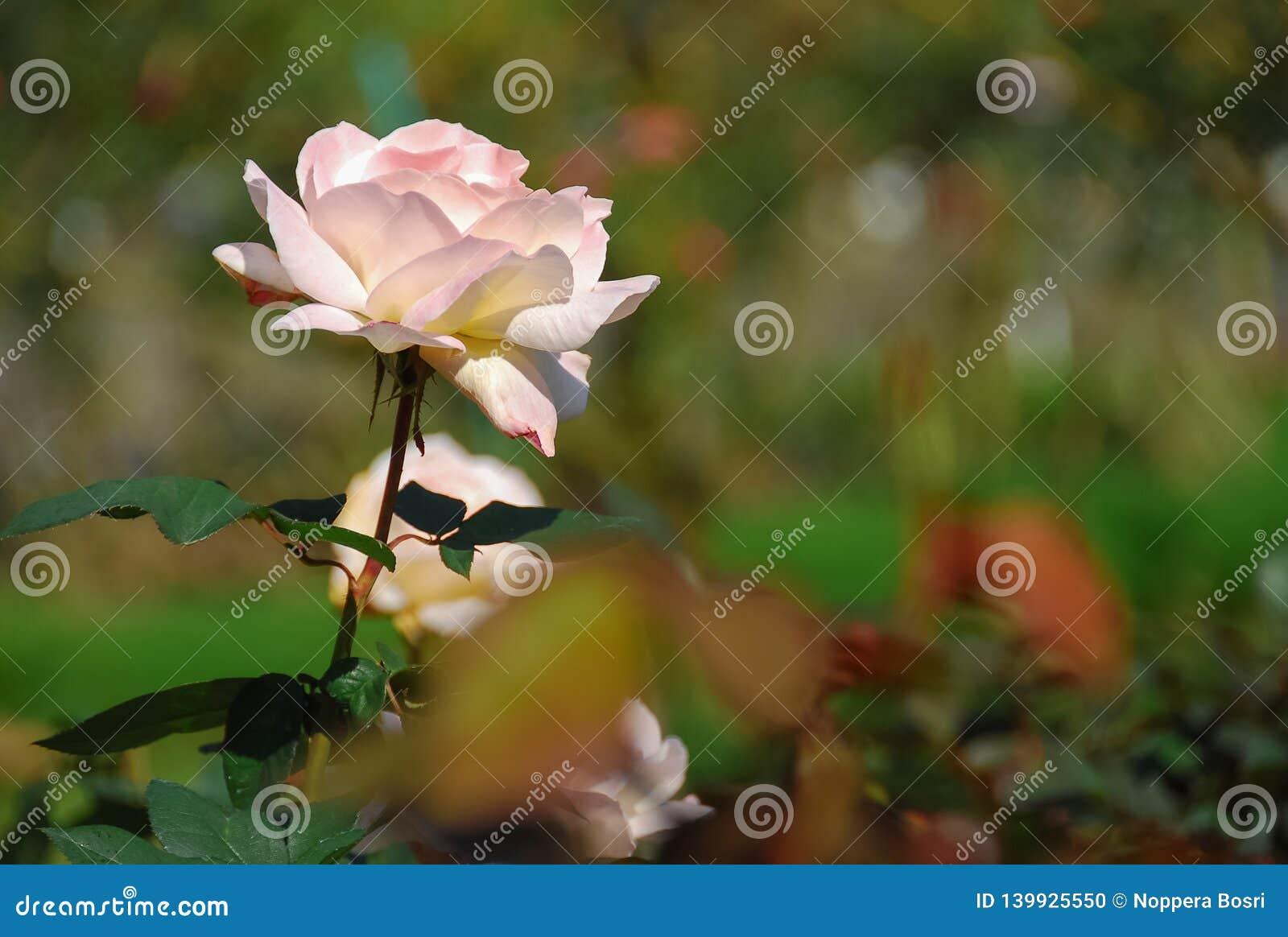 листья красивых роз пинка темные ые-зелен в парке
