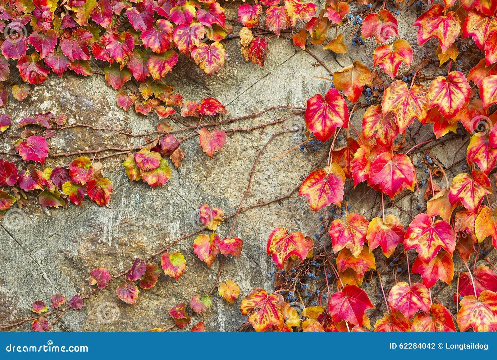 Листья красной виноградины creeper Вирджинии