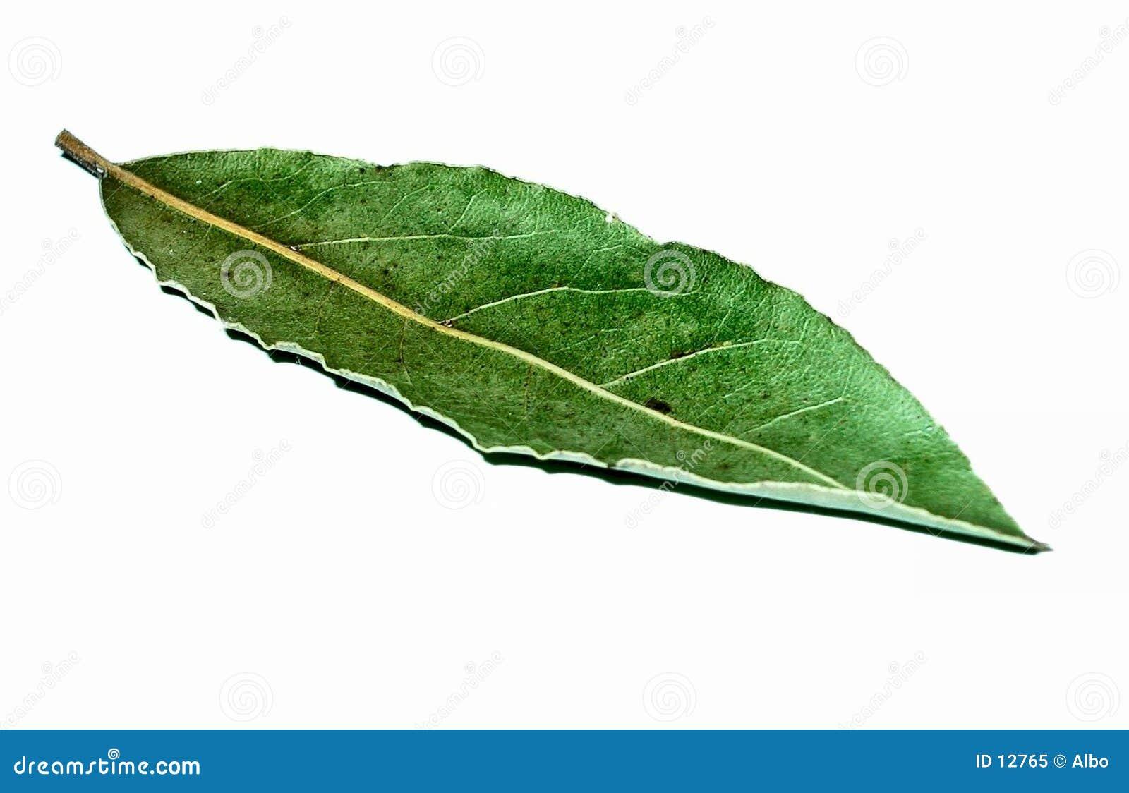 листья лавра