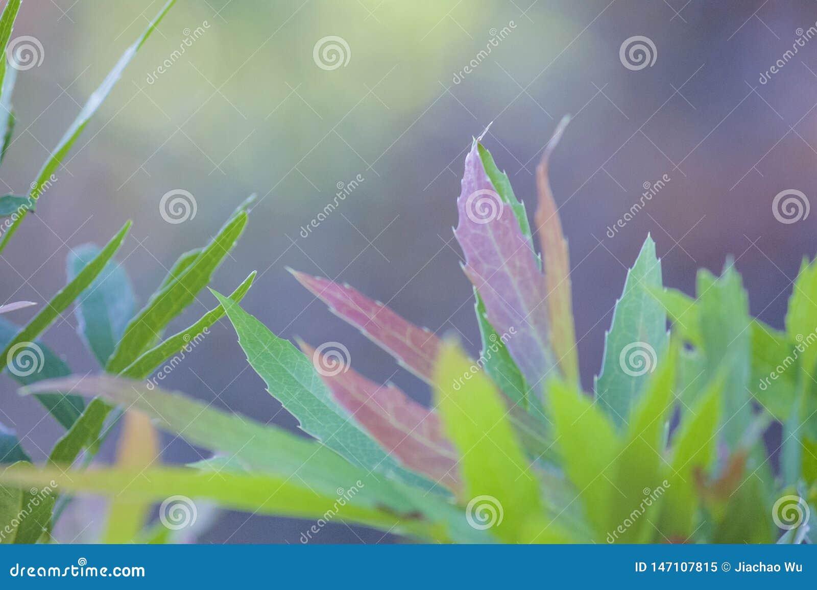 Листья листьев завода, красочных и красных, sord как, голубая предпосылка