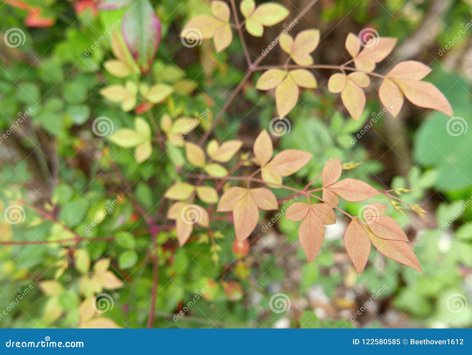 Листья осени медленно поворачивая в красный цвет
