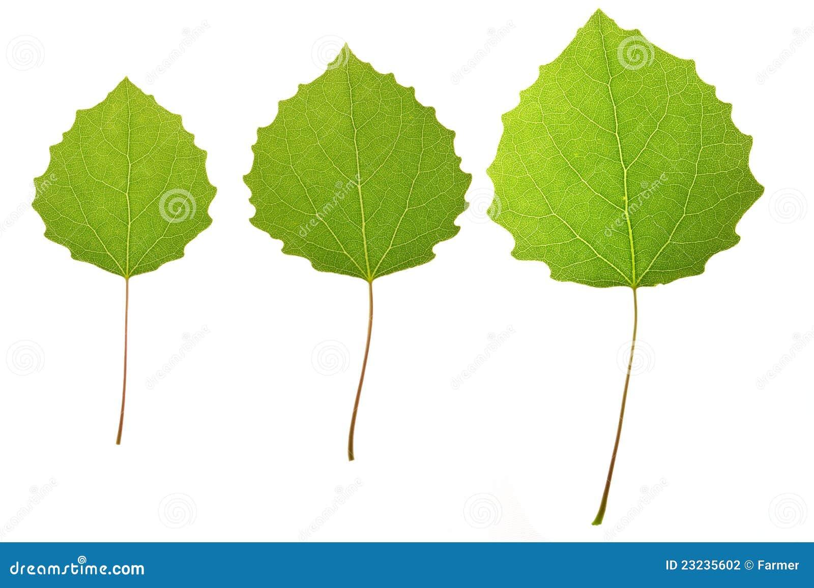как выглядят листья осины фото