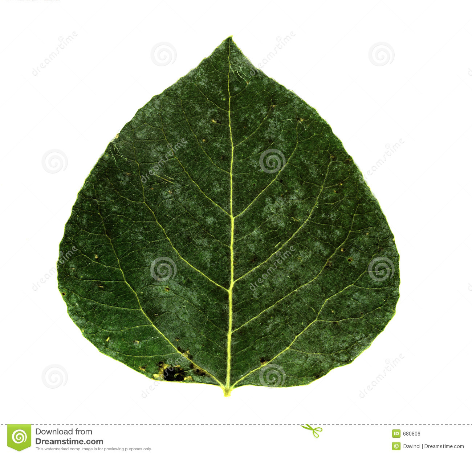 как выглядит лист осины фото