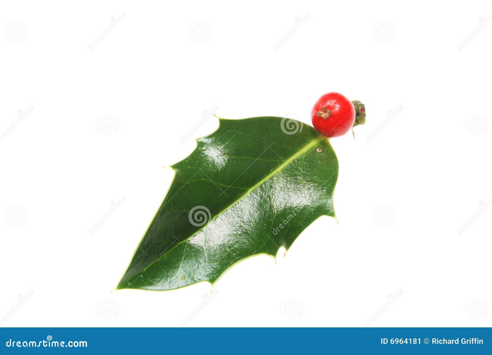 листья падуба одиночные