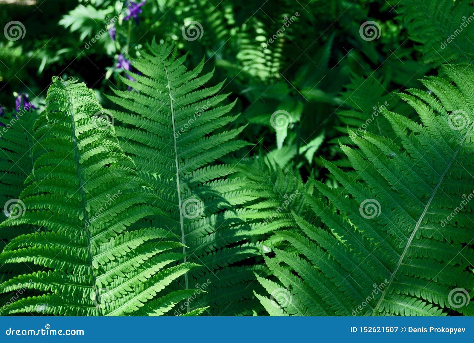 Листья папоротника в саде лета