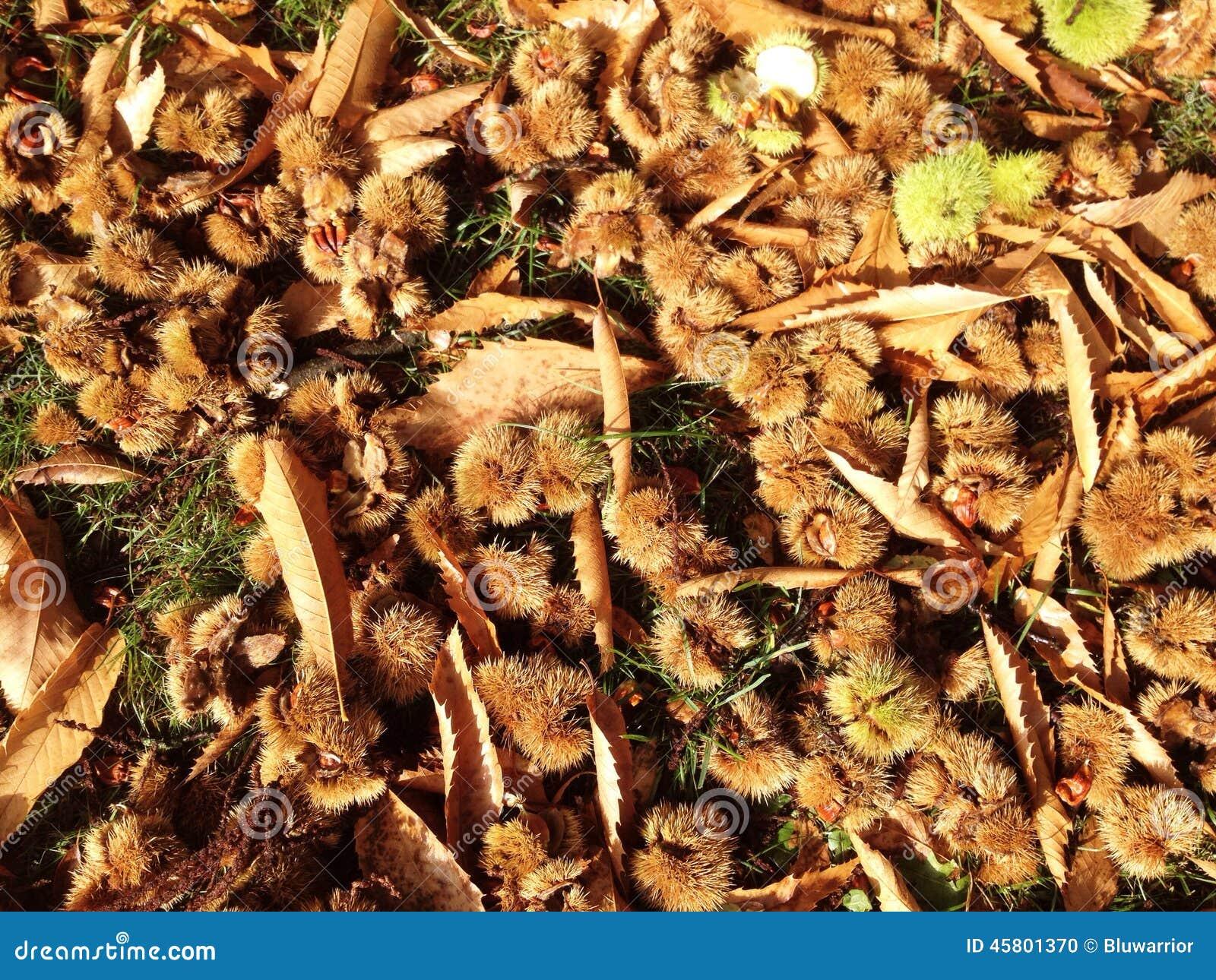 трава каштан конский фото