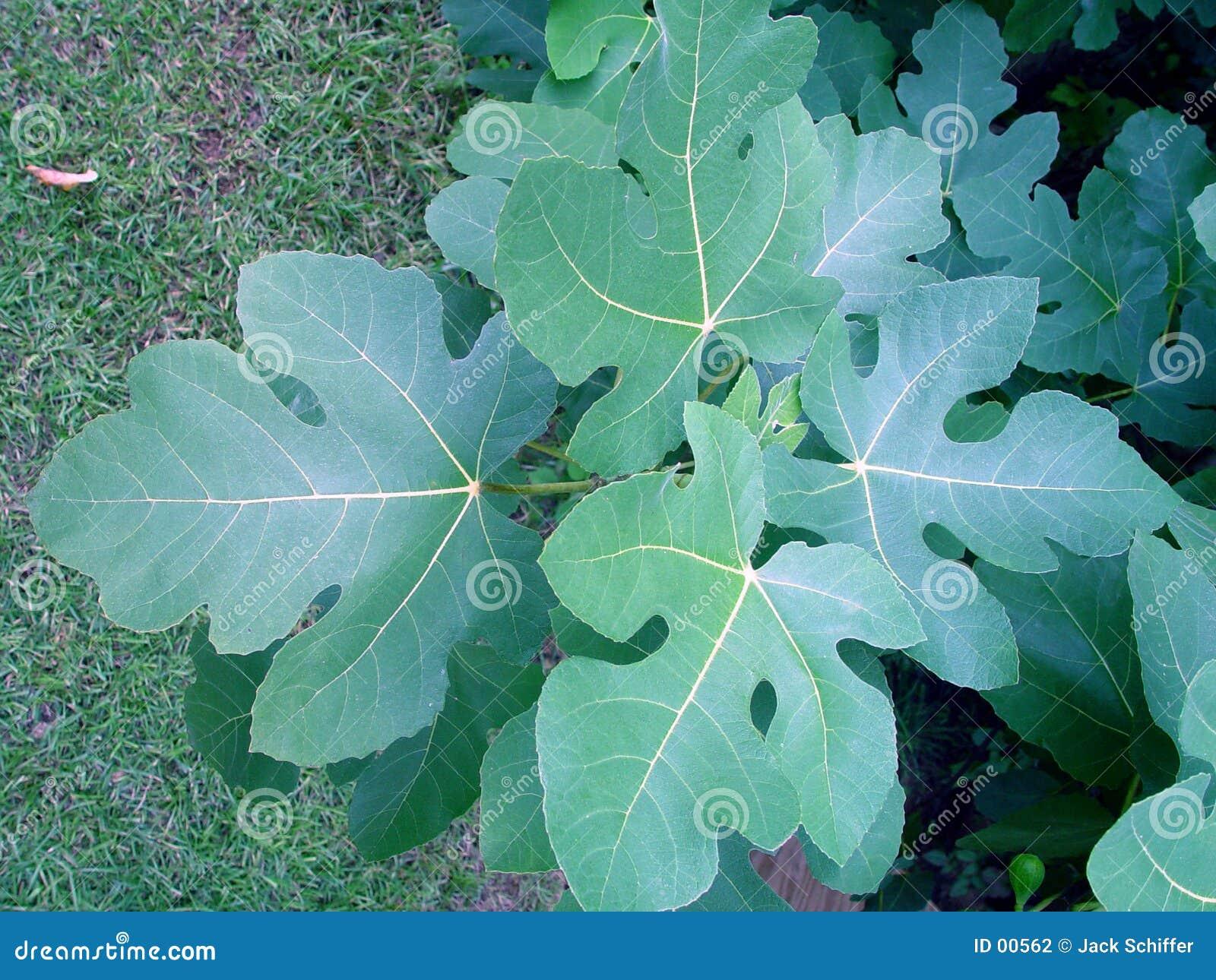 листья смоквы