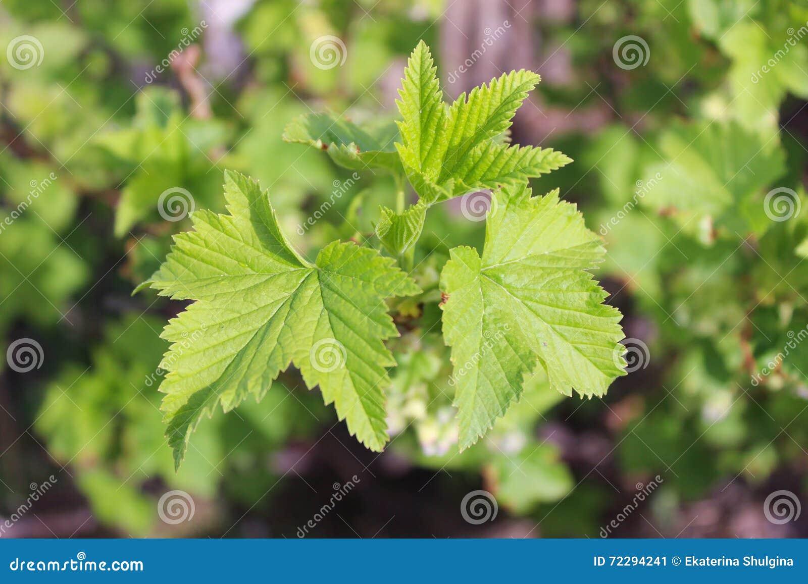 Download Листья смородины стоковое изображение. изображение насчитывающей трава - 72294241