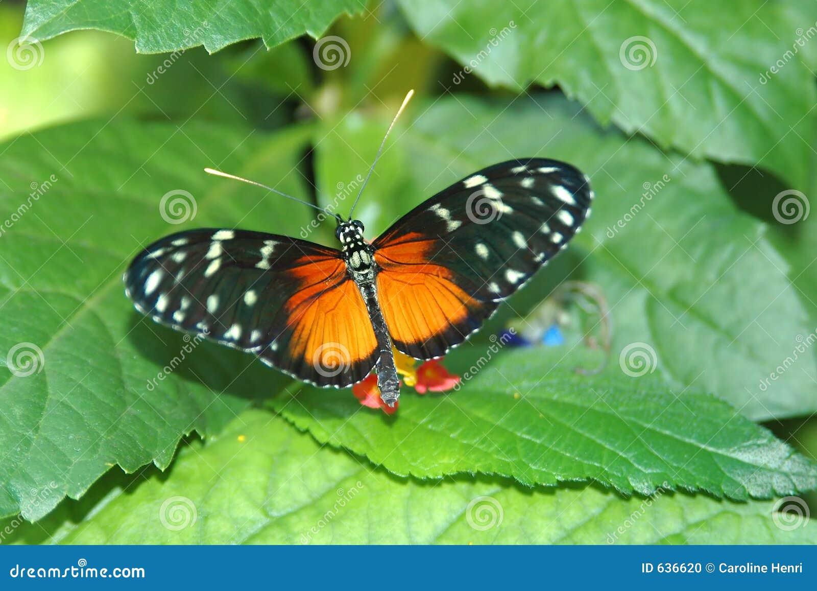 Download листья heliconius hecale стоковое фото. изображение насчитывающей вал - 636620