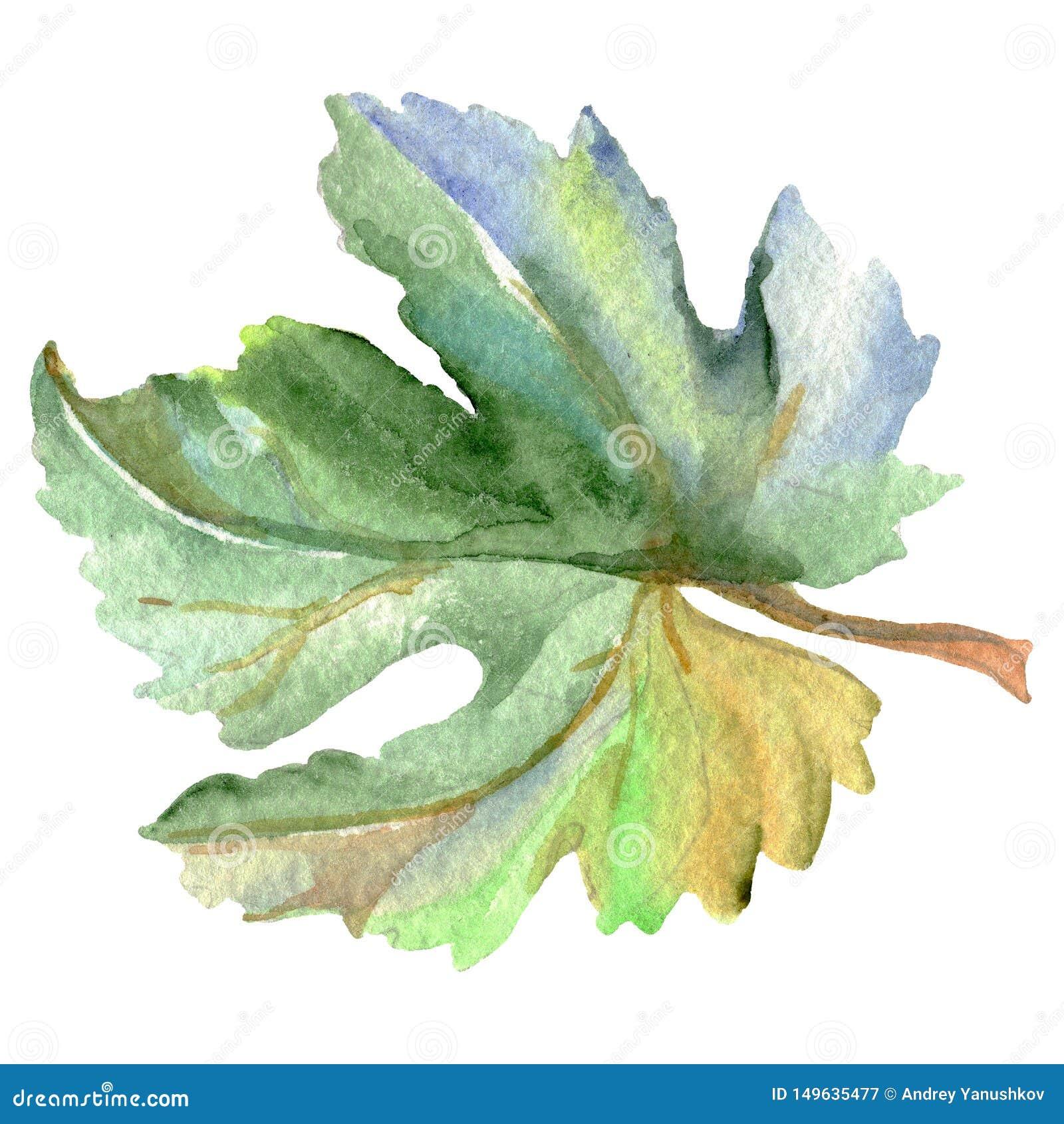 Лист зеленого цвета лозы r Изолированный элемент иллюстрации виноградины