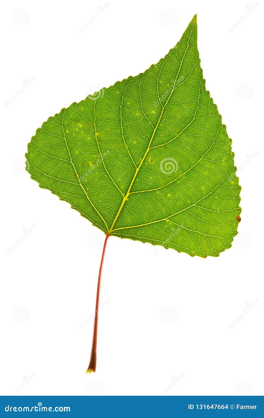 лист тополь