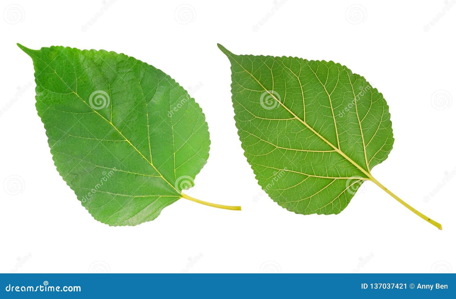 Лист шелковицы изолированные на белизне