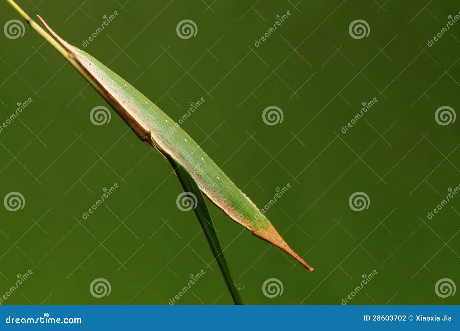 Личинка бабочки на поступке хворостины как adelma Penthema листьев