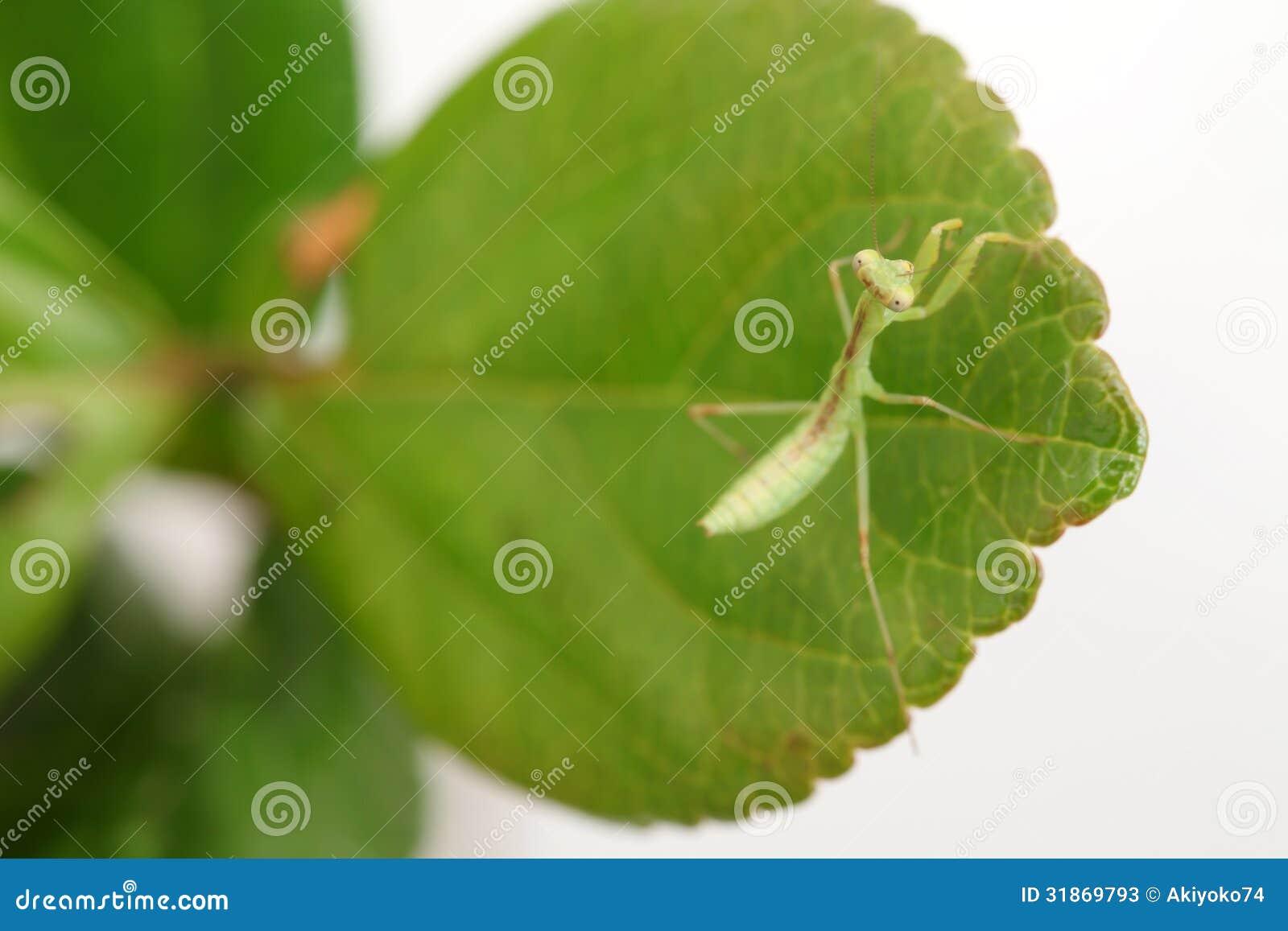 личинка богомола фото