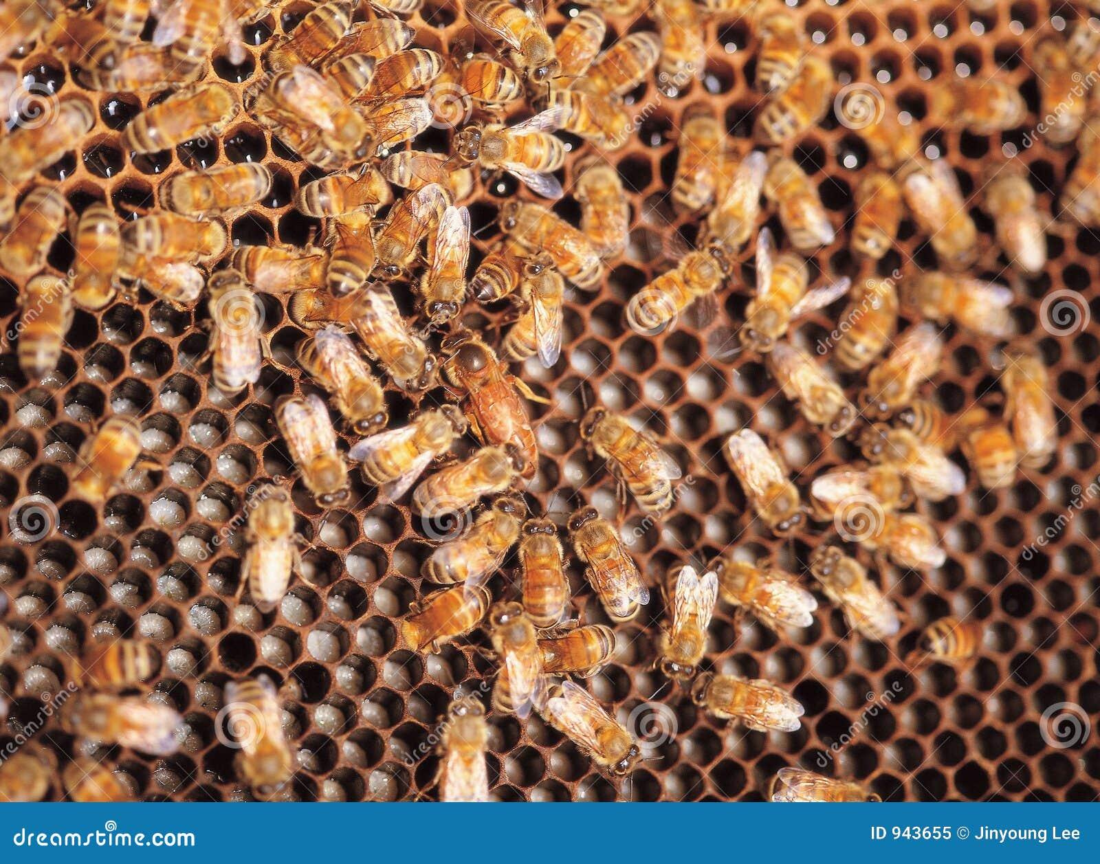 личинка пчел