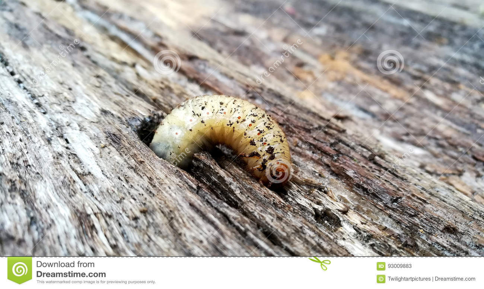 Личинка розового жука