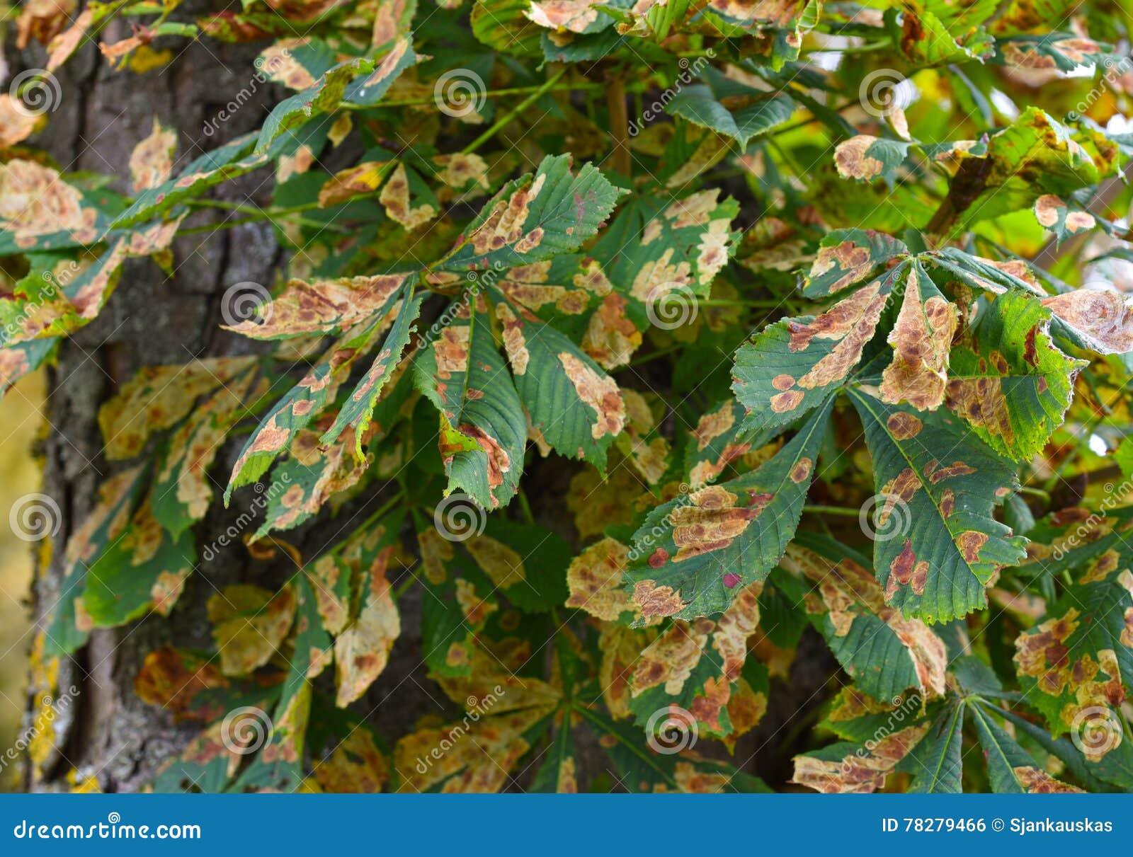 Личинка gracillariidae болезни растения лист дерева конского каштана