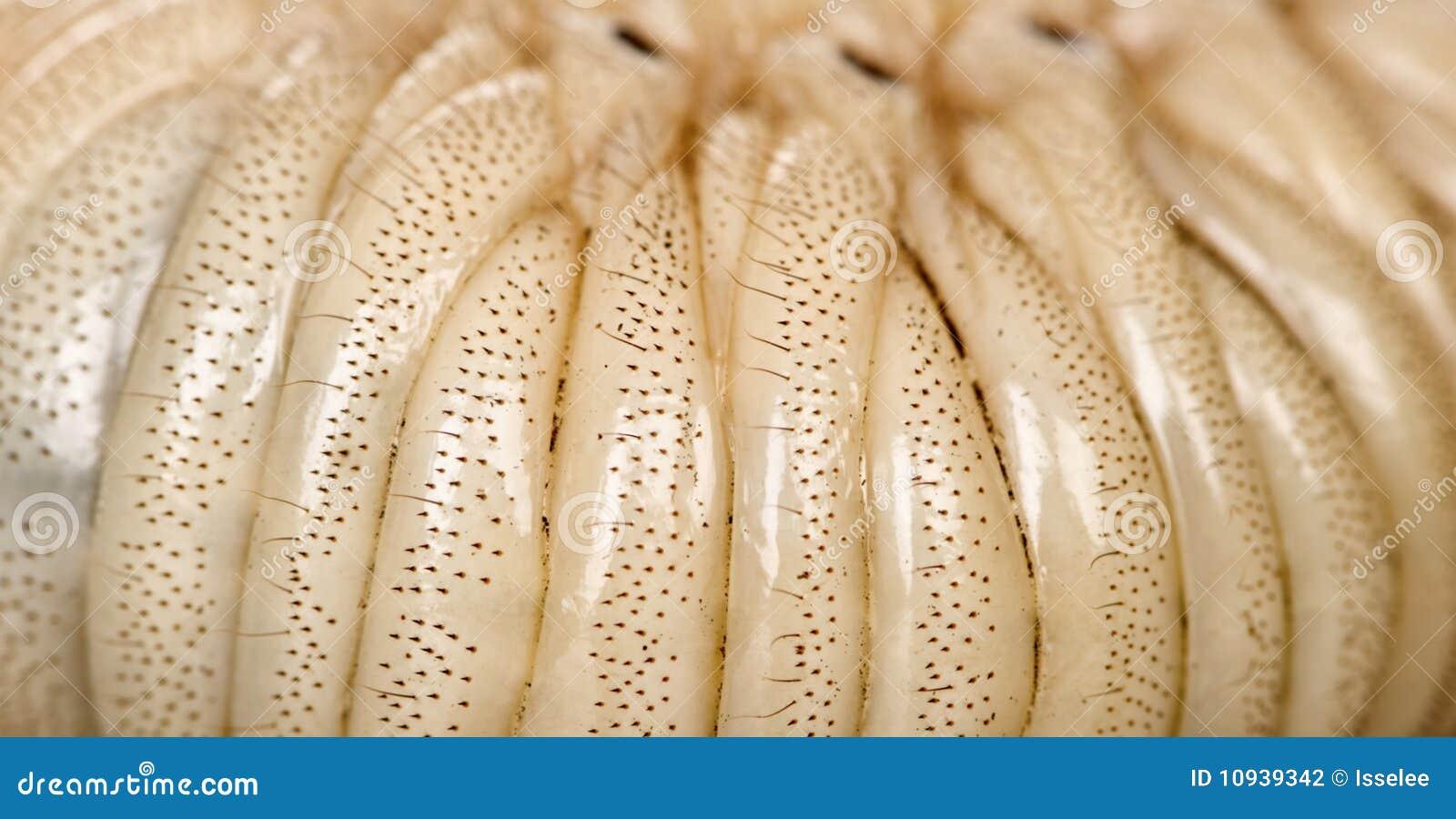 личинка hercules жука близкая вверх