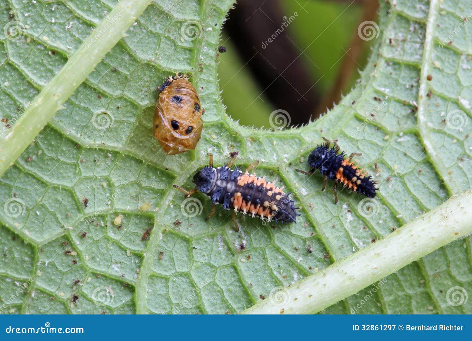 Личинка Ladybug