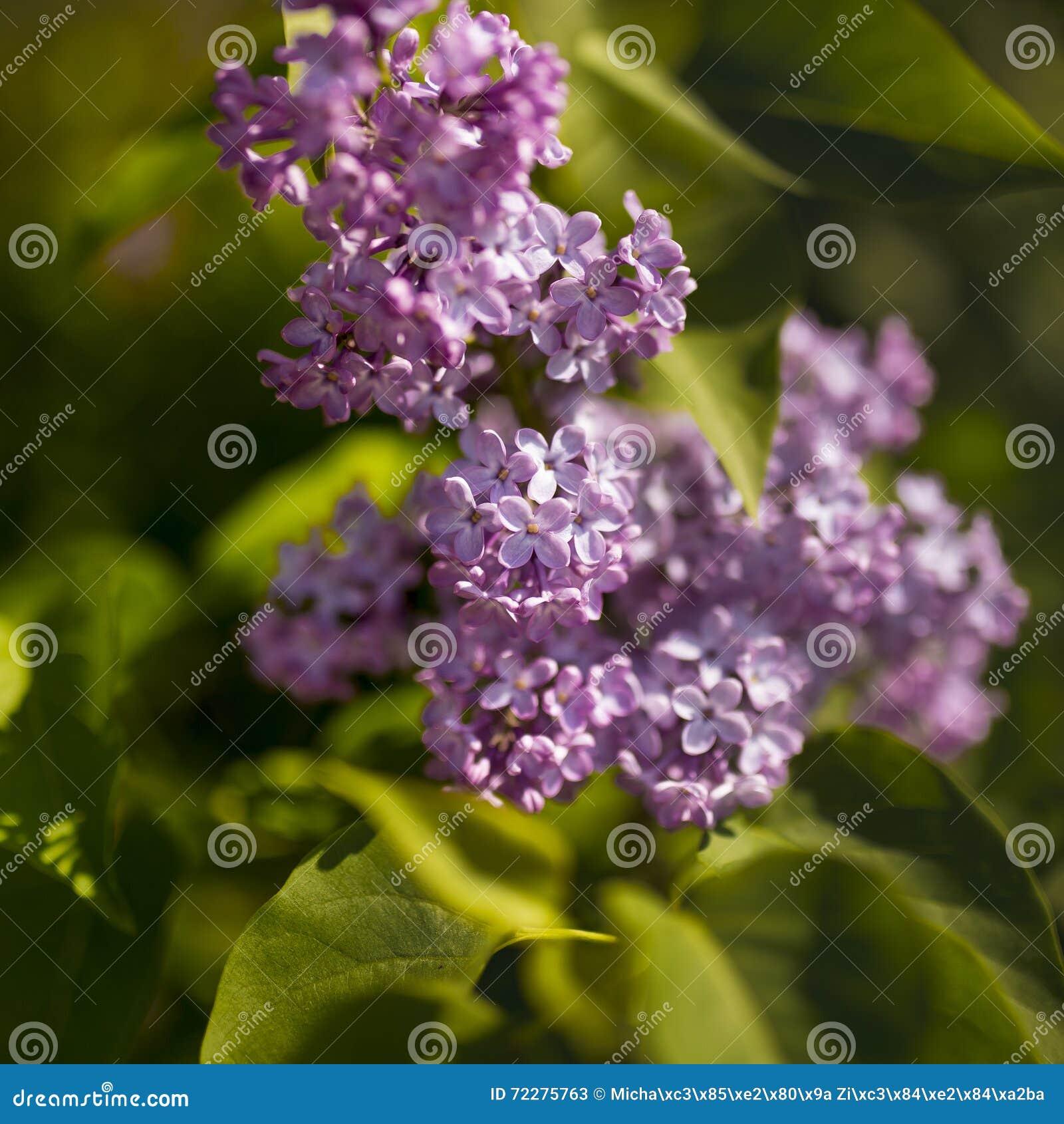 Download Лиловые цветки сирени стоковое изображение. изображение насчитывающей сезон - 72275763