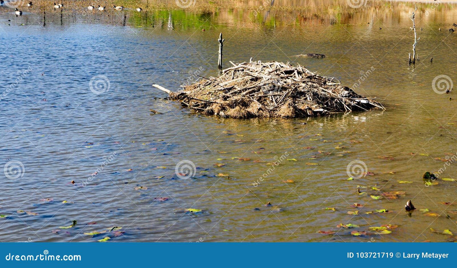 Ложа построенная бобрами на пруде Pandapas