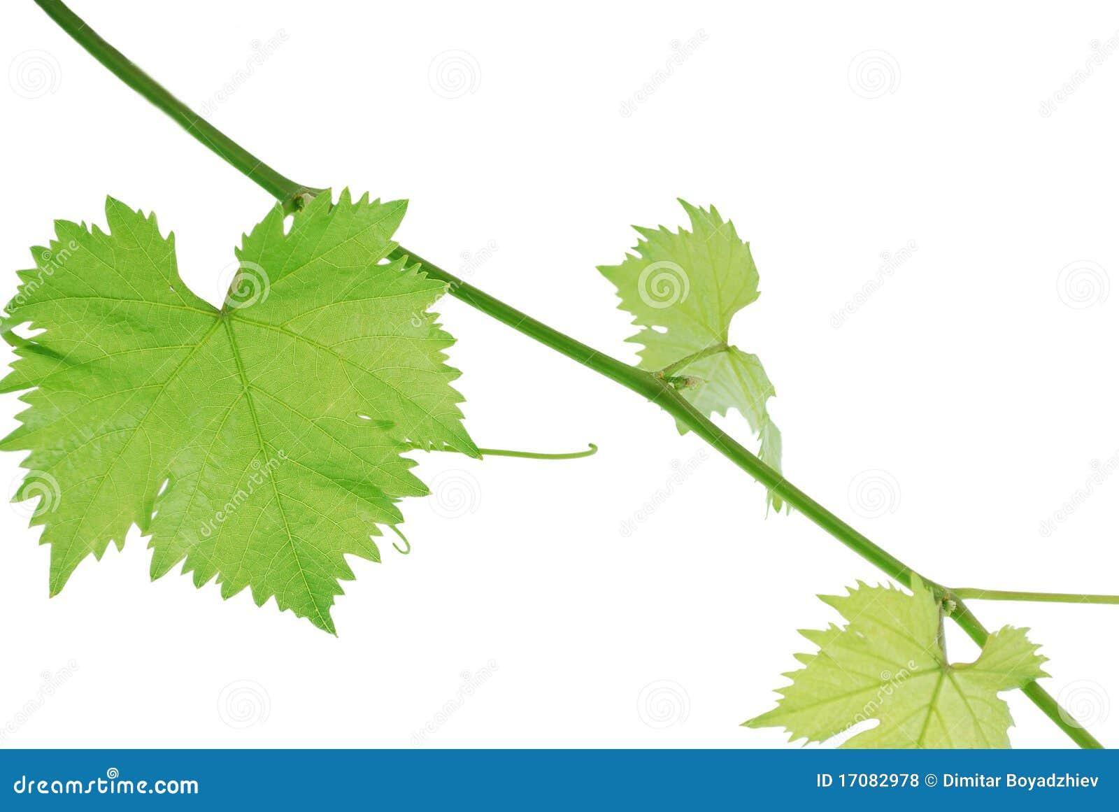 лоза листьев
