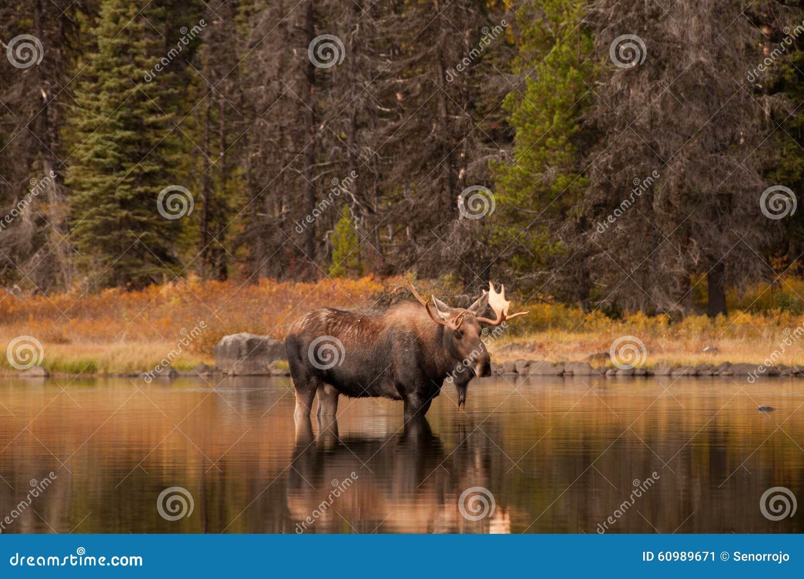 Лоси Bull